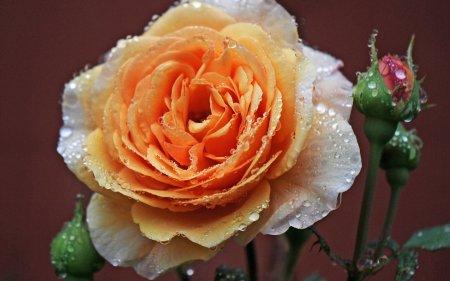 Роса на розе